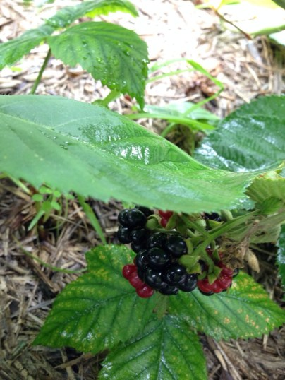 These blackberries were hiding, but not well enough! Nom nom nom!