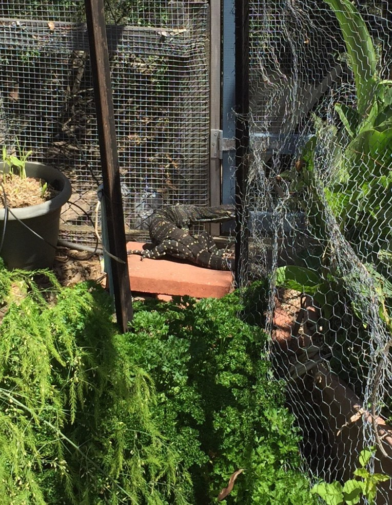 Goanna in the coop door
