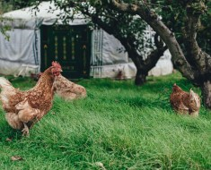 organic lawn with chickens