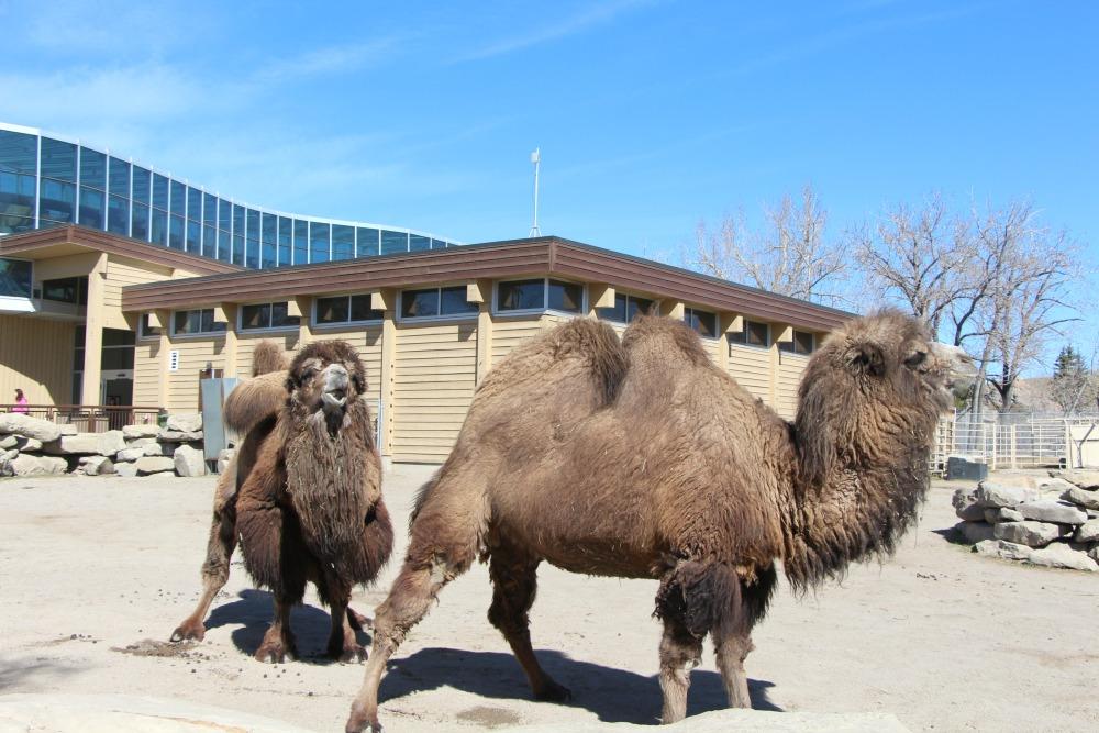 Camels at Zoo