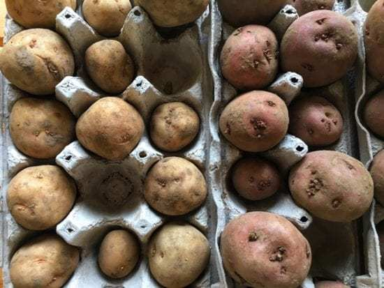 Homestead Blog Hop Feature - Sprouting Seed Potatoes for Planting