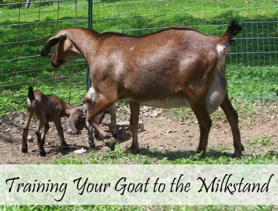 Homestead Blog Hop Feature - 8 Tips to Train Your Goat to Behave on the Milk Stand
