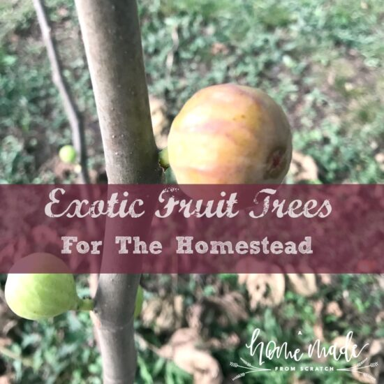 Homestead Blog Hop Feature - Exotic-fruit-trees for your homestead