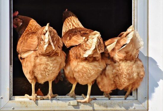 Homestead Blog Hop Feature - How to Make Homemade probiotics for Chickens