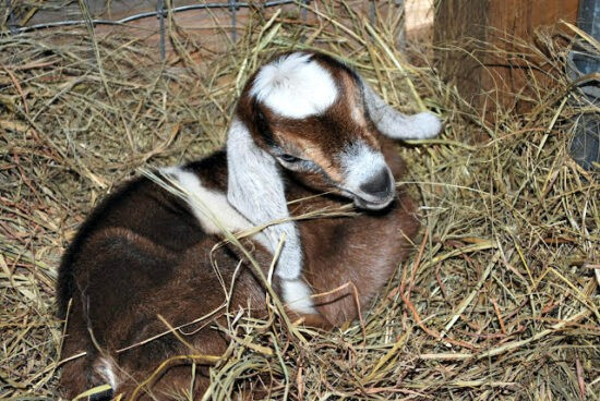 Homestead Blog Hop Feature - Prepping for Kidding Seasons, resources for new goat owners