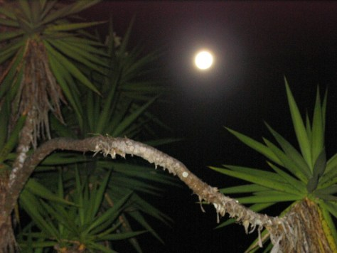 Photograph of the moon through the limbs of a tree.