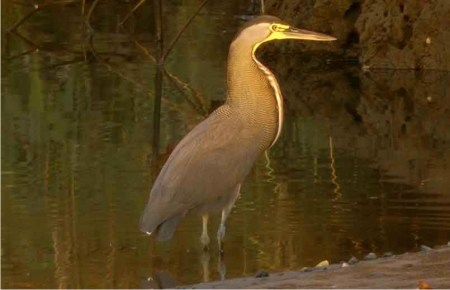 Photograph of a Bare-throated Tiger-Heron on the water's edge.