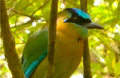 Photograph of a bird with a yellow body, green and blue wings, a black face and a blue crown.