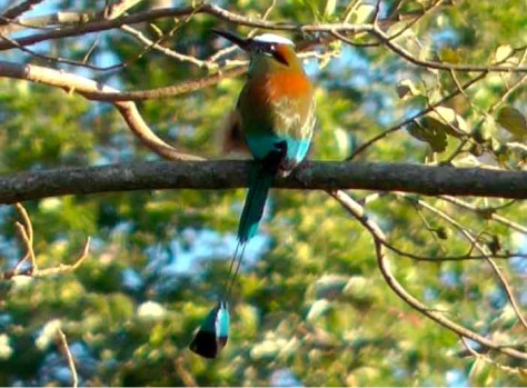 Photograph of a Turquoise-browed Motmot on a tree limb. The Motmot is multi-colored, red, orange, turquise, brown and white, with an unusually long turquoise tail feather.