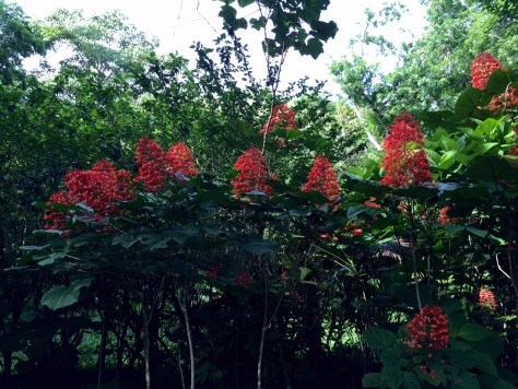 Photograph of a thick bush of Java Glorybower blooms, also known as Puntarenas. A large red bloom!