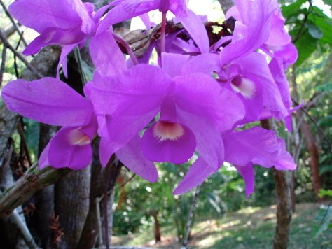 Guaria morada, or Cattleya skinneri, the national flower of Costa Rica