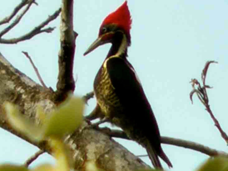 A lineated woodpecker perches in a tree in Costa Rica