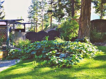 overgrown squash plants in okanagan BC