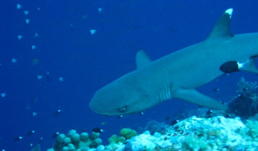 white-tipped-reef-shark-1
