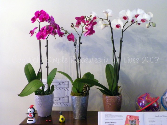In addition, I got a new pot of orchid (now I have three and they are all in blooms)