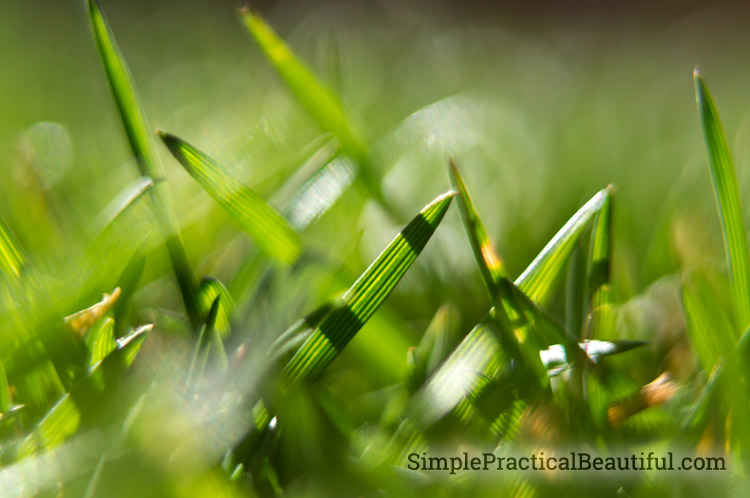 Tall fescue makes a great lawn