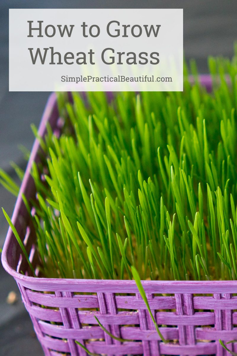 How to grow wheat grass from wheat berries or seeds in just a few days | Wheat grass for a beautiful living spring basket
