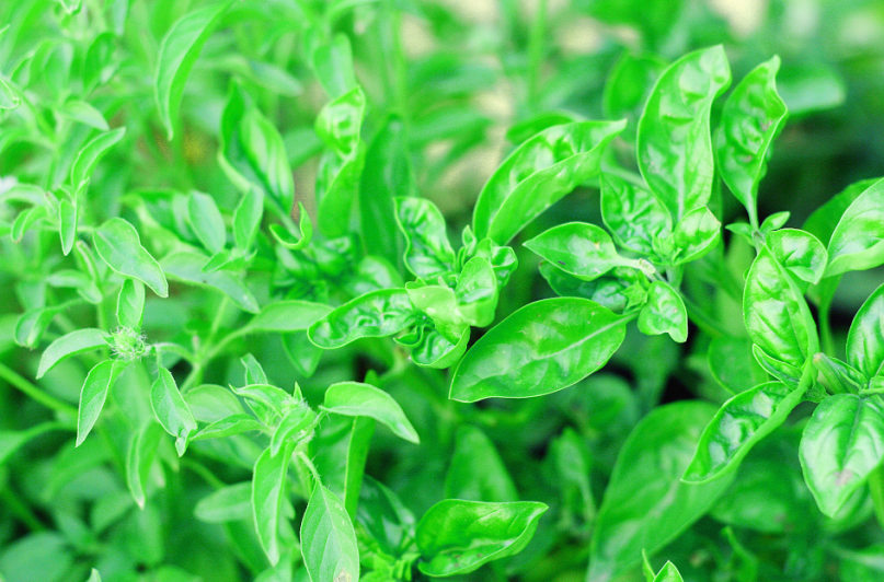 Basil for Pesto