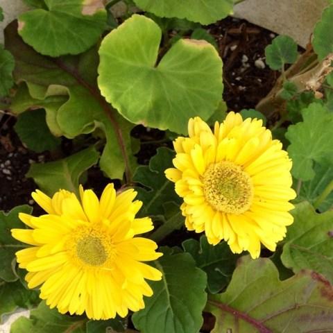 #luvsofab Day 6 - A splash of 'yellow' in our backyard. Instagram no filter #cbias #garden