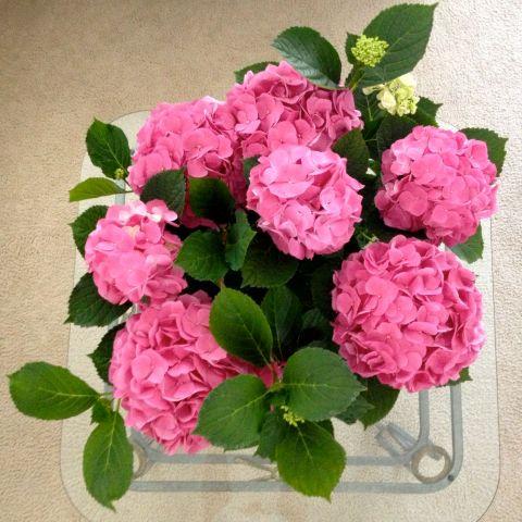 Pink Hydrangeas | Simple Sojourns
