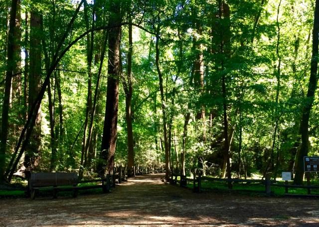 Henry Cowell Redwood Loop Trail - Simple Sojourns