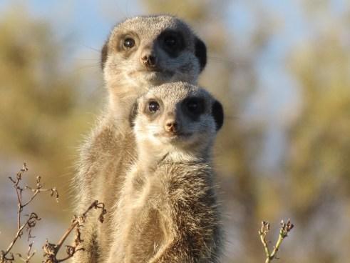 meerkat-255564_960_720