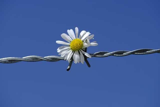 daisy fence