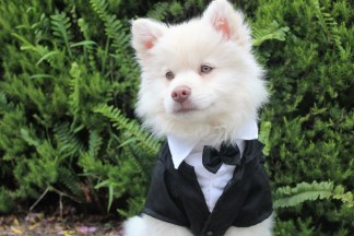 A white dog wearing a tux