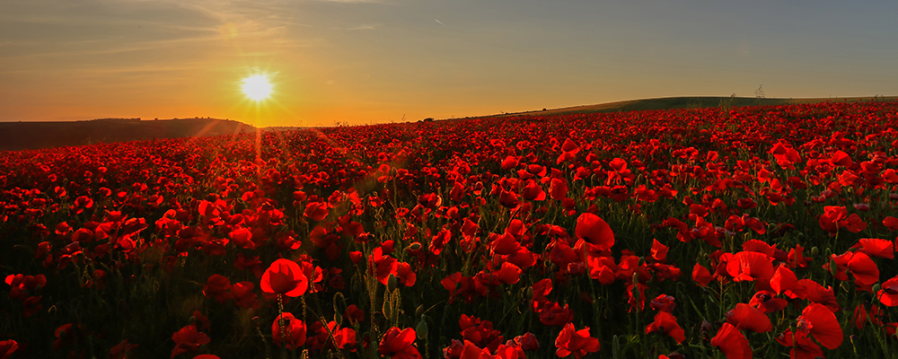 red and gold sea of poppies