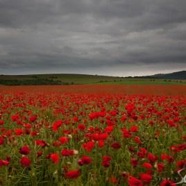Falmer Poppies