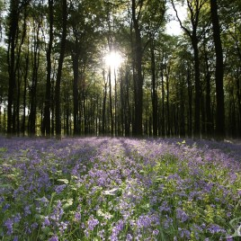 Bluebells Sunrise