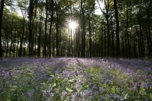 Bluebells Sunrise