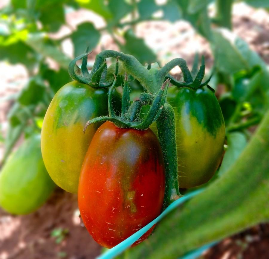 Tomato | simplyanchy.com