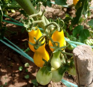 Yellow Cherry Tomatoes | simplyanchy.com