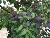 Plum Tree Blog-5