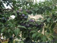 Plum Tree Blog-7