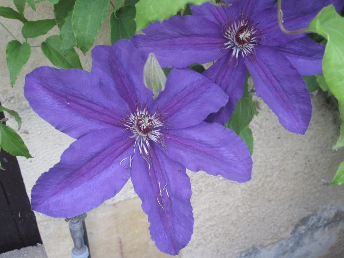 Clematis on a house wall