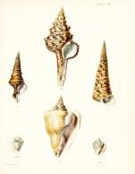 Seashell_30