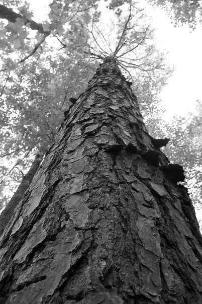 Black and white photo of a massive pine tree in worm's eye view.
