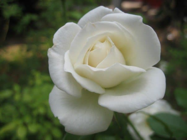 Close-up of a white rose.
