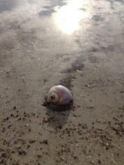 This snail shell was home to an incredibly persistent hermit crab. Every time a waved pushed him away, he huddled into the shell, then popped back out and crab walked toward the water again.