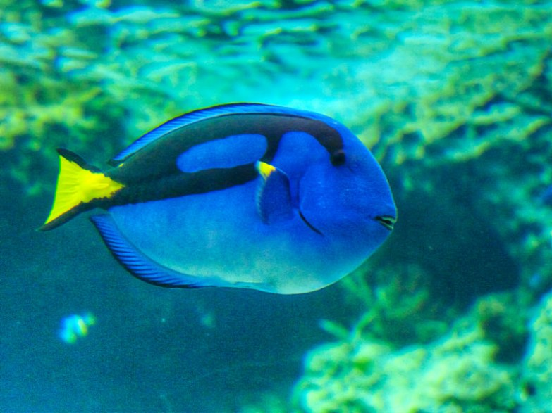 "This is Dory, the surgeonfish in Finding Nemo. It is confusing because ""dory"" is also the name of a species of fish."