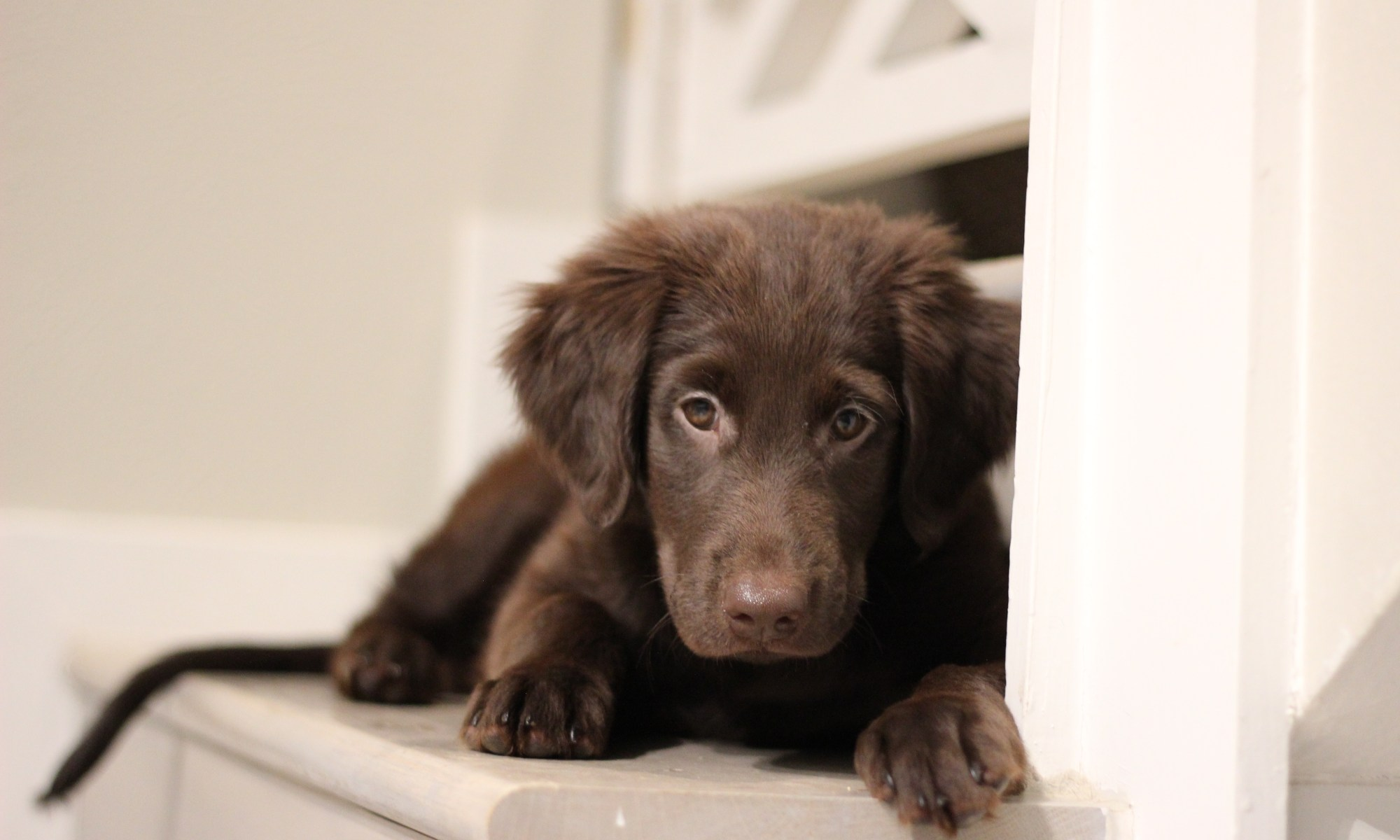 Puppy Flat-coated retriever