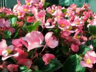 Pink Petals 3