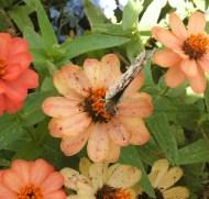 Butterfly on Flower (closed wings)