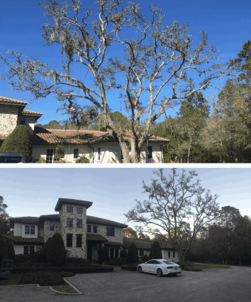 Oak Tree Pruning and Demossing