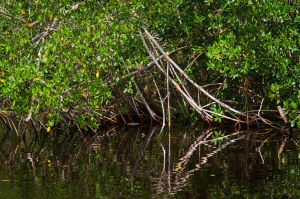 Florida Professional Mangrove Trimmer