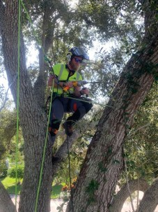 skilled tree climber cabling and bracing