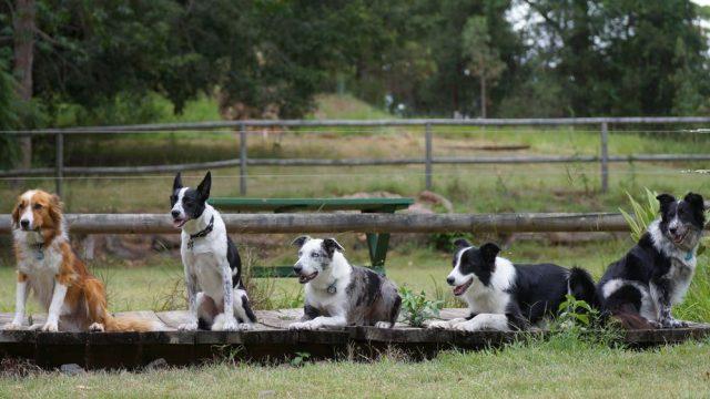 Psy do detekcji koali Detection Dogs for Conservation