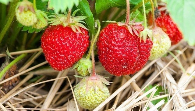 Grow strawberries in your garden